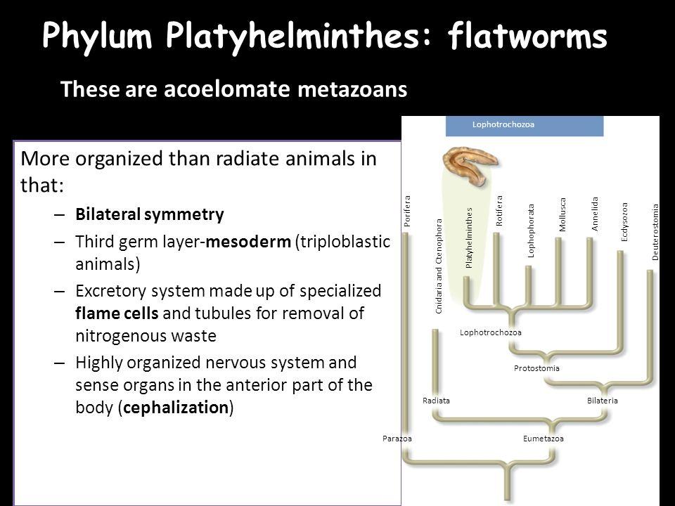protostoma platyhelminthes)