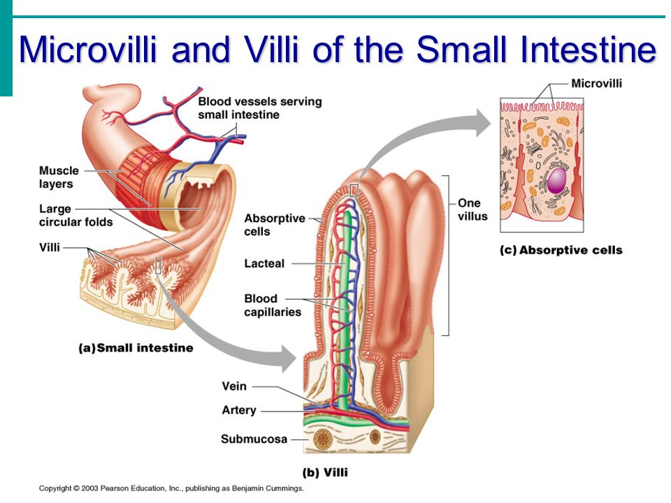Chapter 14 Part 2 The Digestive System Ppt Video Online Download