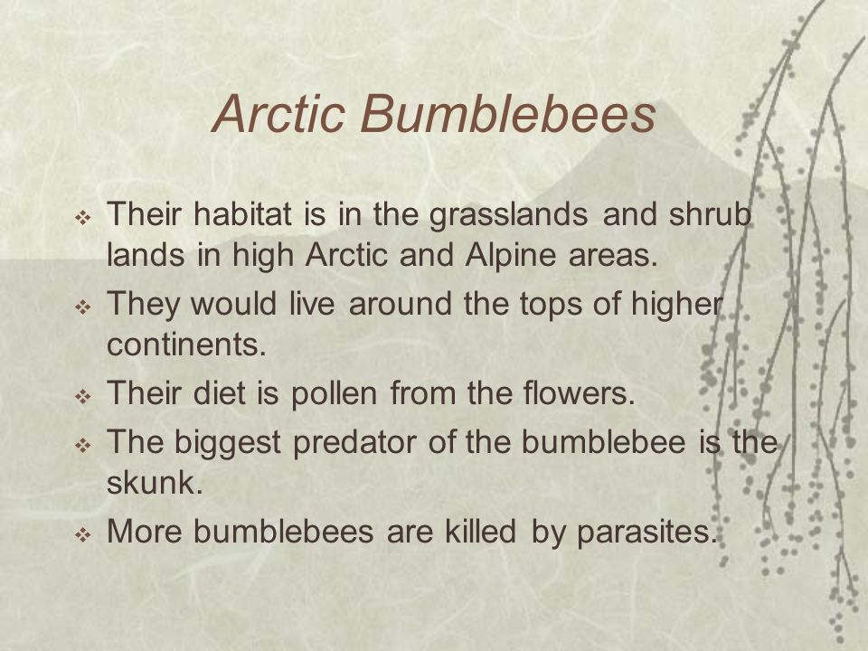 Arctic Bumblebees Their habitat is in the grasslands and shrub lands in high Arctic and Alpine areas.