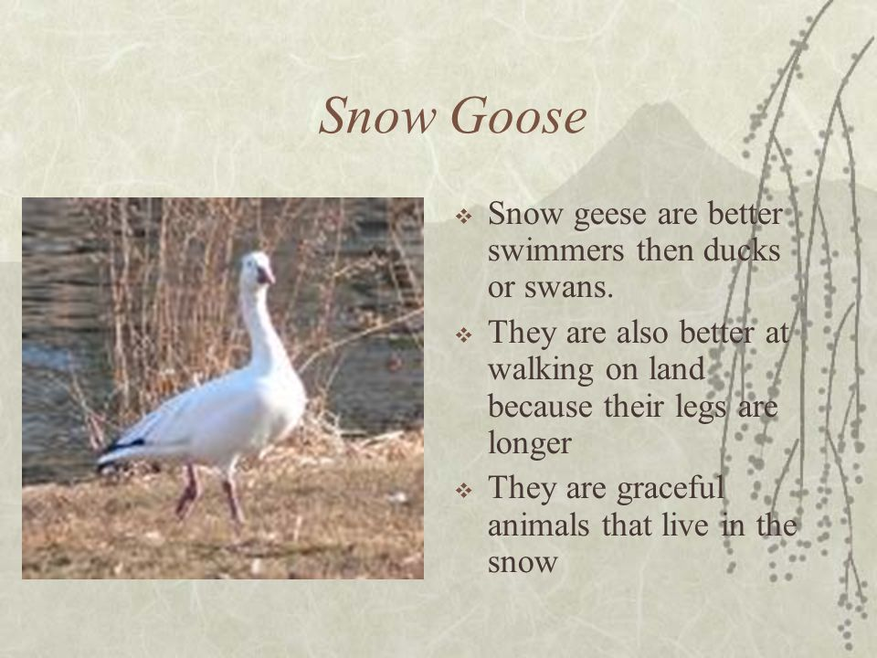 Snow Goose Snow geese are better swimmers then ducks or swans.