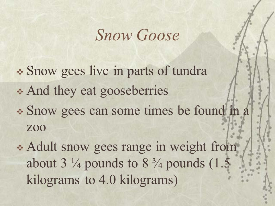 Snow Goose Snow gees live in parts of tundra And they eat gooseberries