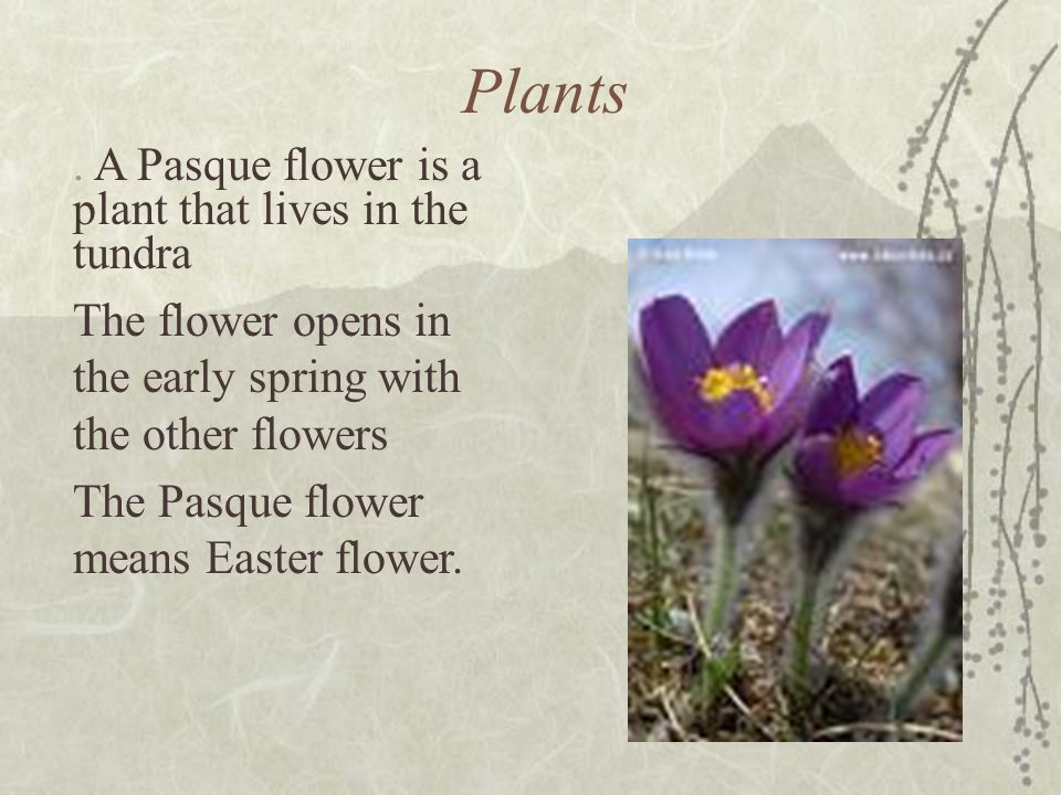 Plants . A Pasque flower is a plant that lives in the tundra