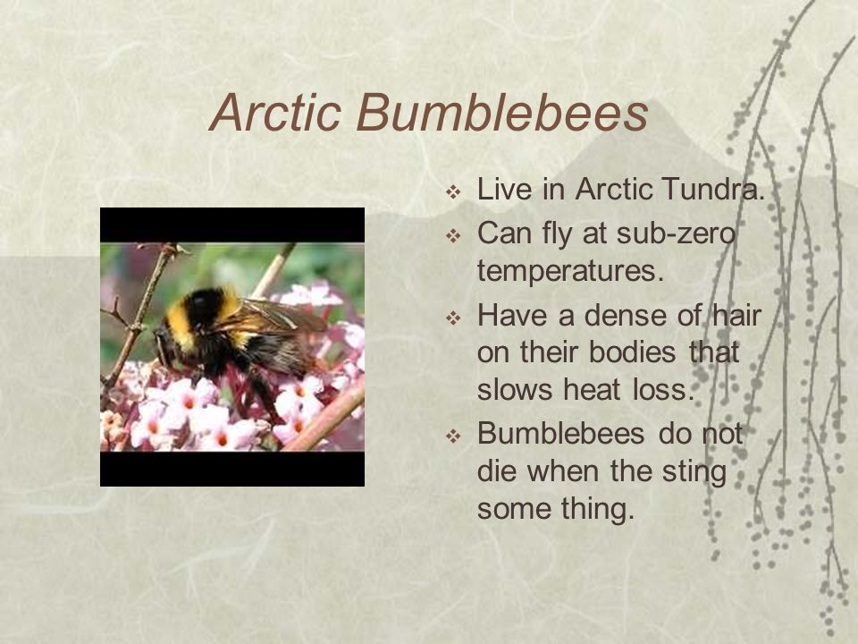 Arctic Bumblebees Live in Arctic Tundra.