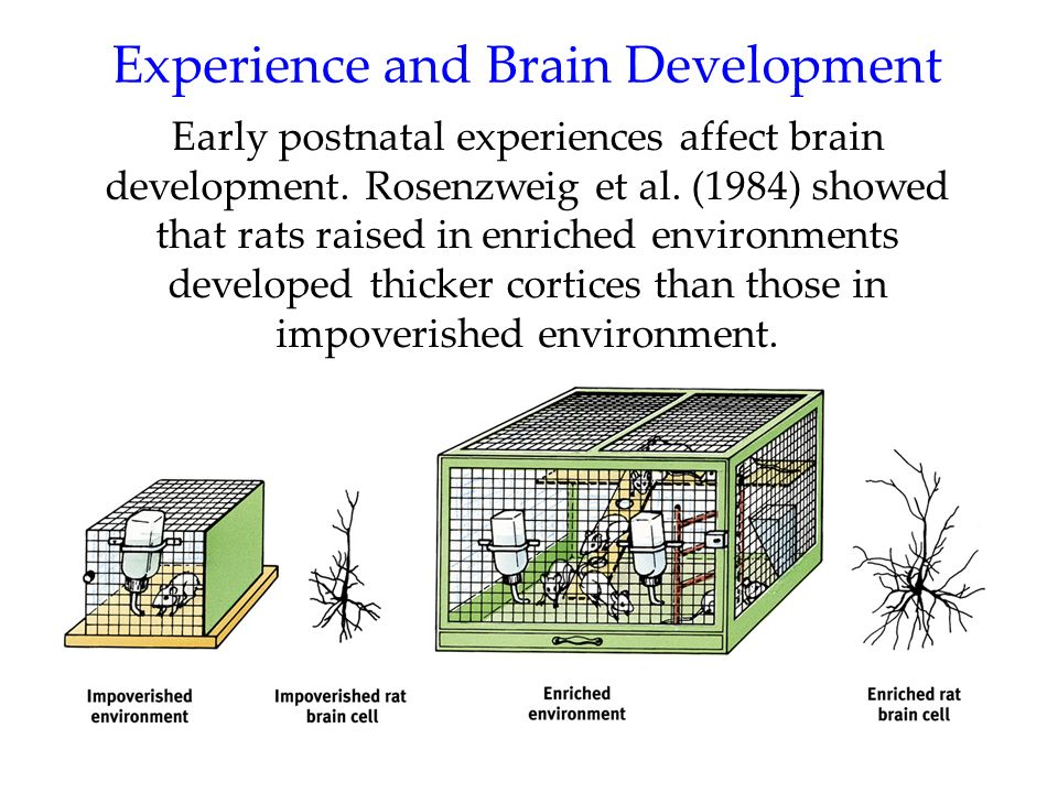 Experience and Brain Development