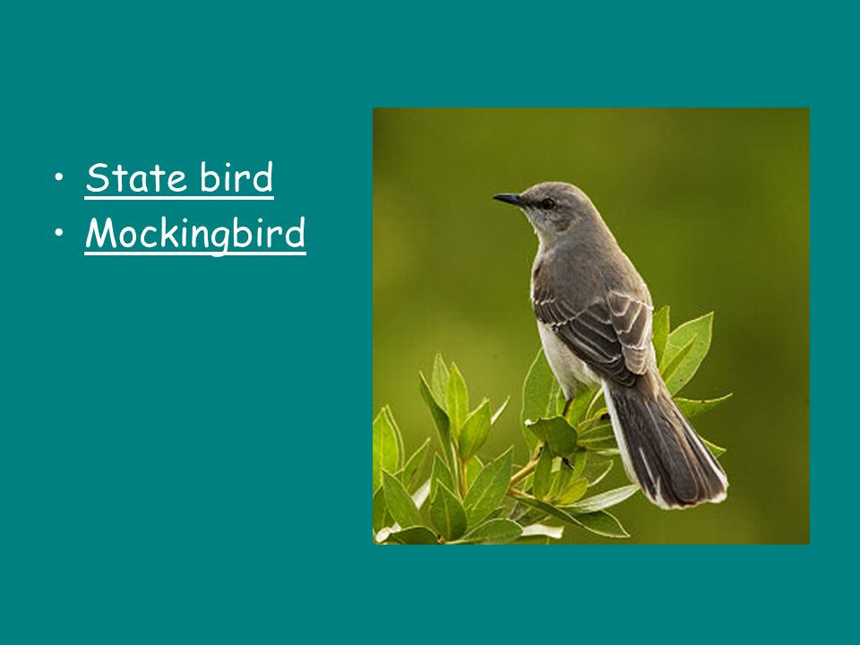 State bird Mockingbird