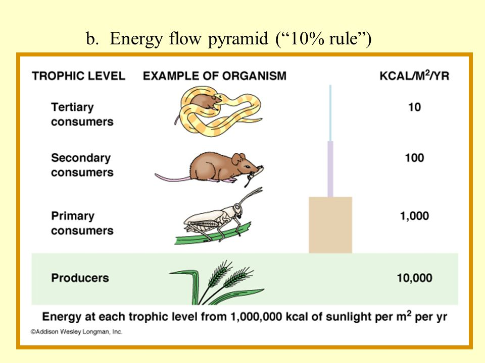 b. Energy flow pyramid ( 10% rule )