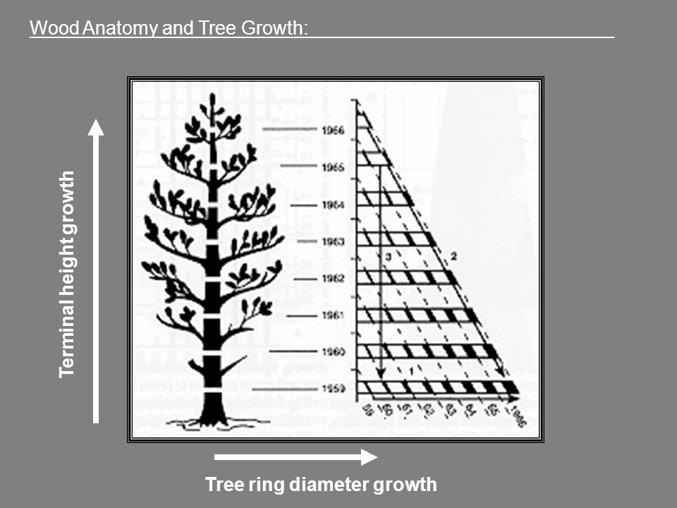 Wood Anatomy and Tree Growth: ______ - ppt video online download