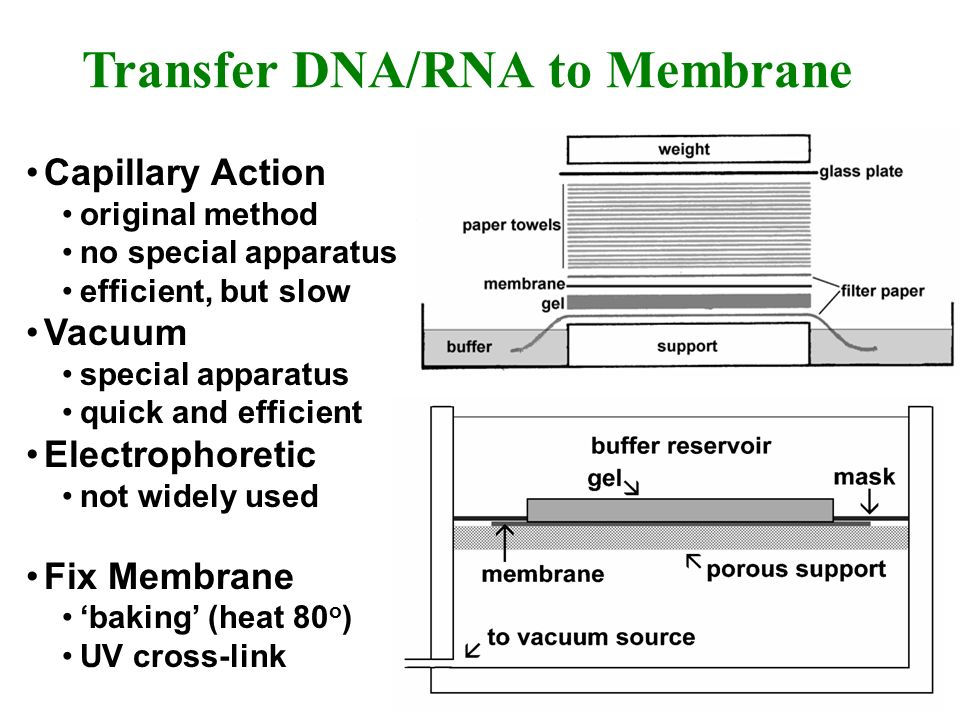 Transfer DNA/RNA to Membrane