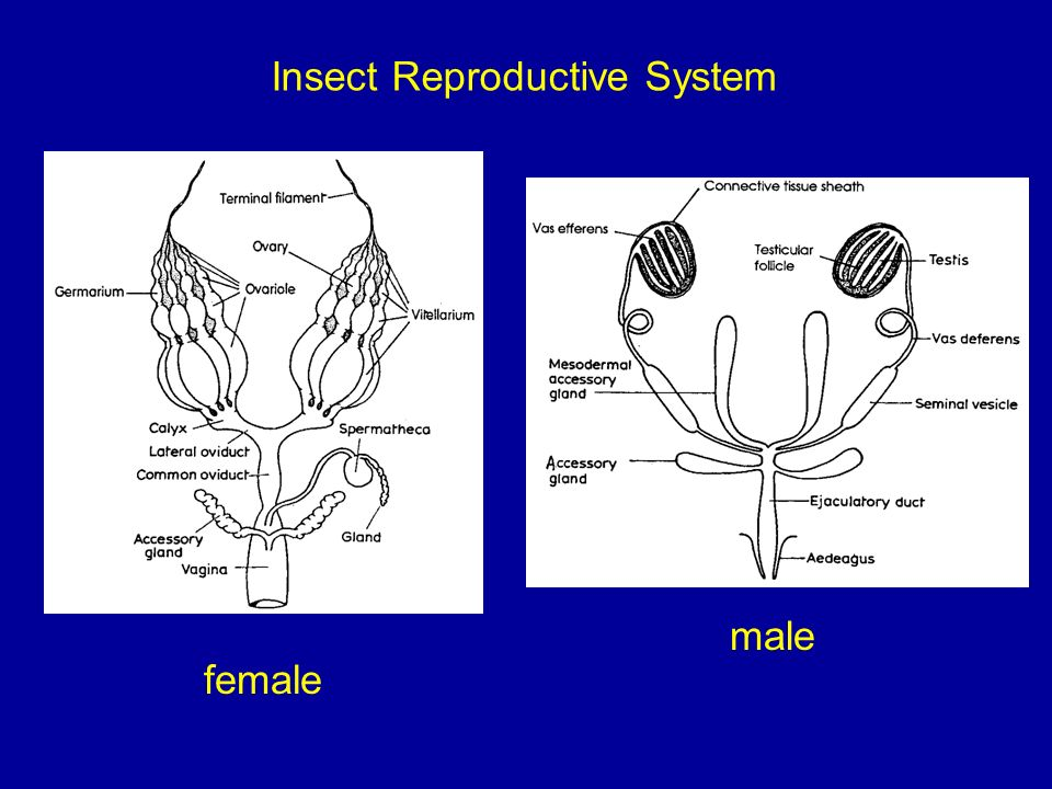 Medical entomology overview ppt video online download 32 insect reproductive system male female ccuart Choice Image