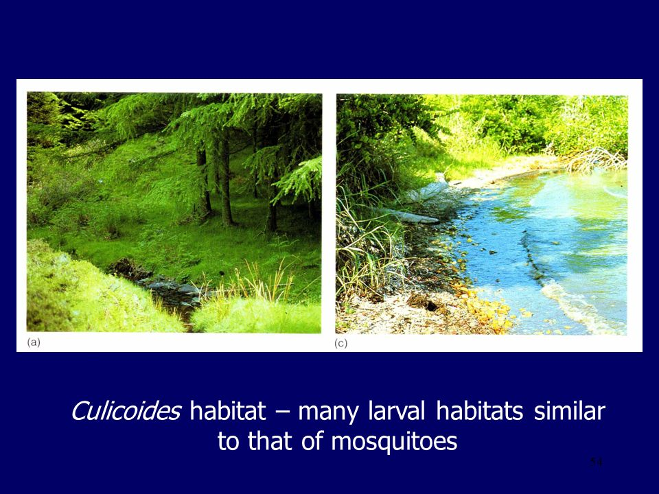 Culicoides habitat – many larval habitats similar to that of mosquitoes