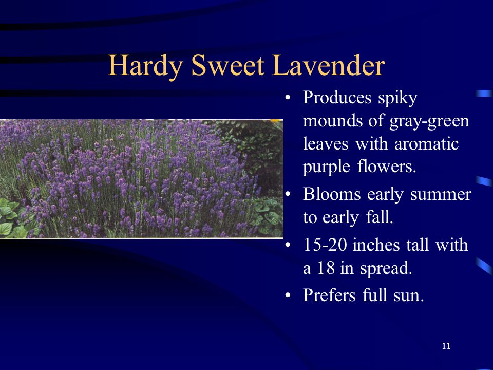 Hardy Sweet Lavender Produces spiky mounds of gray-green leaves with aromatic purple flowers. Blooms early summer to early fall.