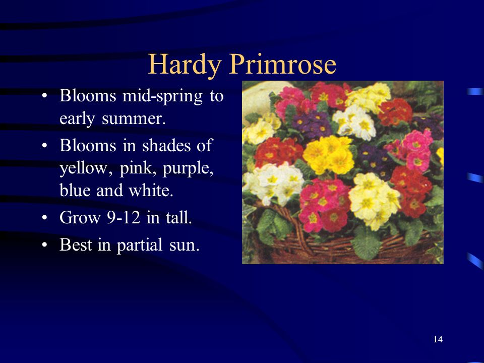 Hardy Primrose Blooms mid-spring to early summer.