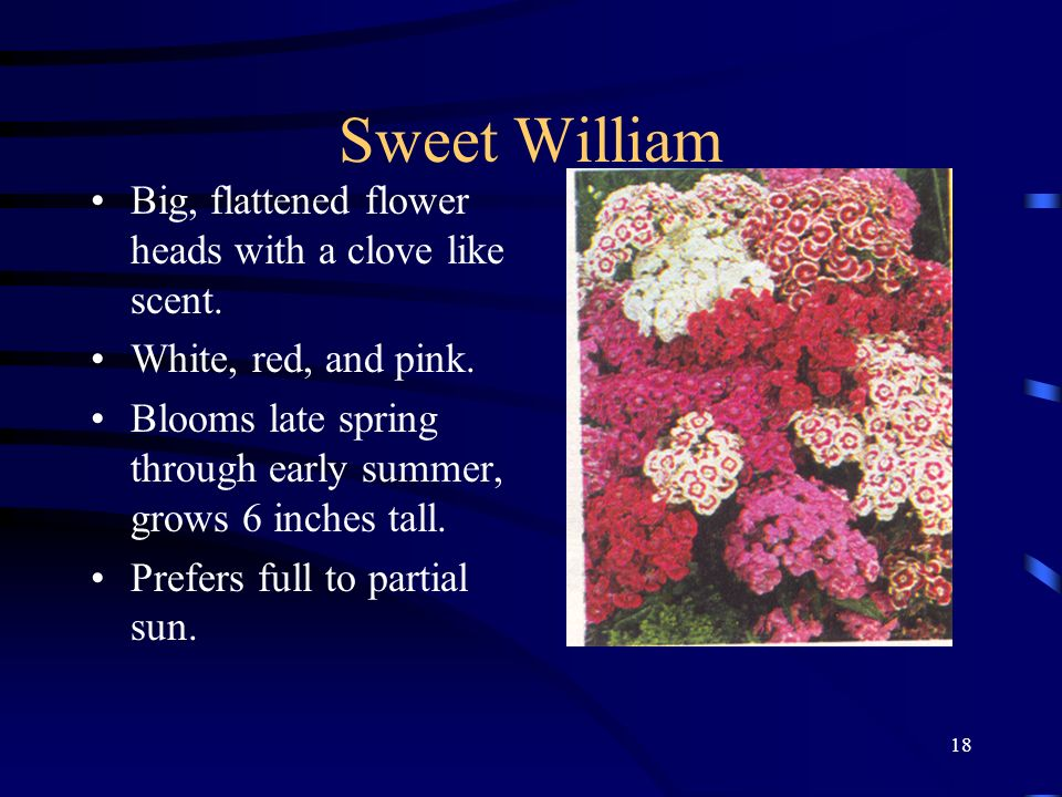 Sweet William Big, flattened flower heads with a clove like scent.