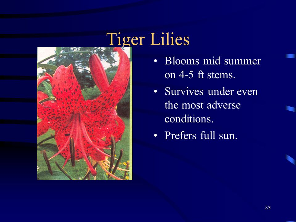 Tiger Lilies Blooms mid summer on 4-5 ft stems.