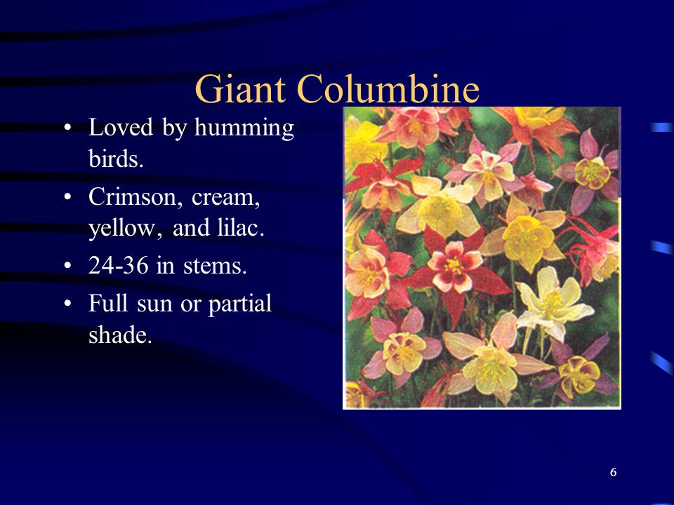 Giant Columbine Loved by humming birds.