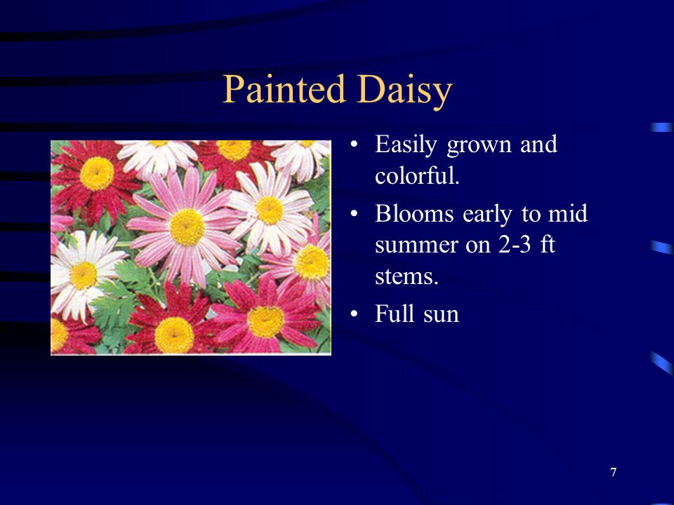 Painted Daisy Easily grown and colorful.