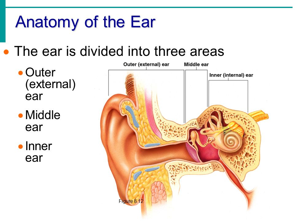 Chapter 8 Special Senses: Hearing & Equilibrium - ppt video online ...