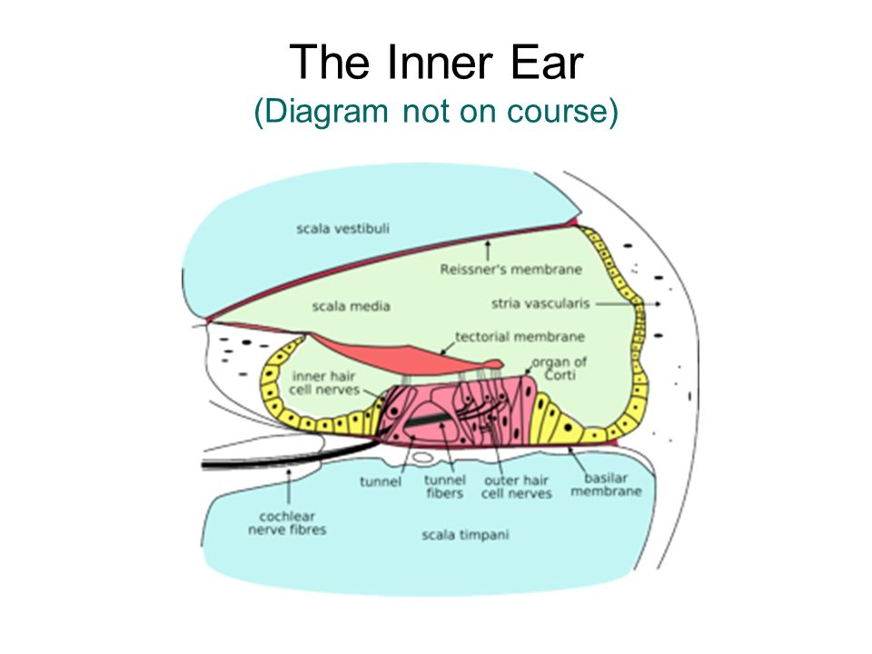 The Inner Ear (Diagram not on course)