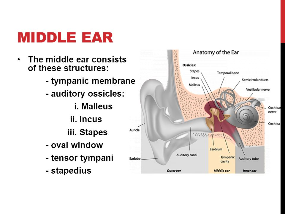 The nervous system: the ear - ppt video online download