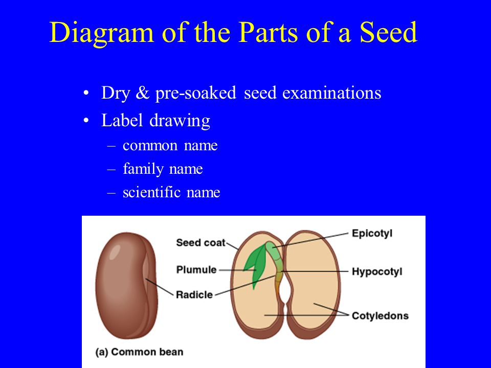 diagram of the parts of a seed