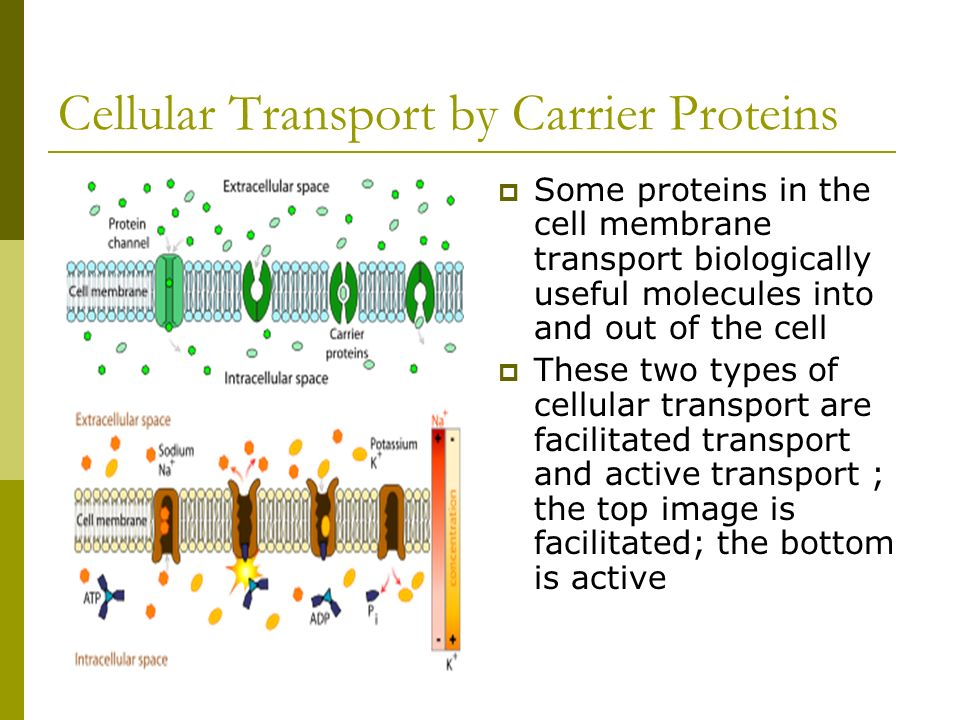 Cellular Transport by Carrier Proteins