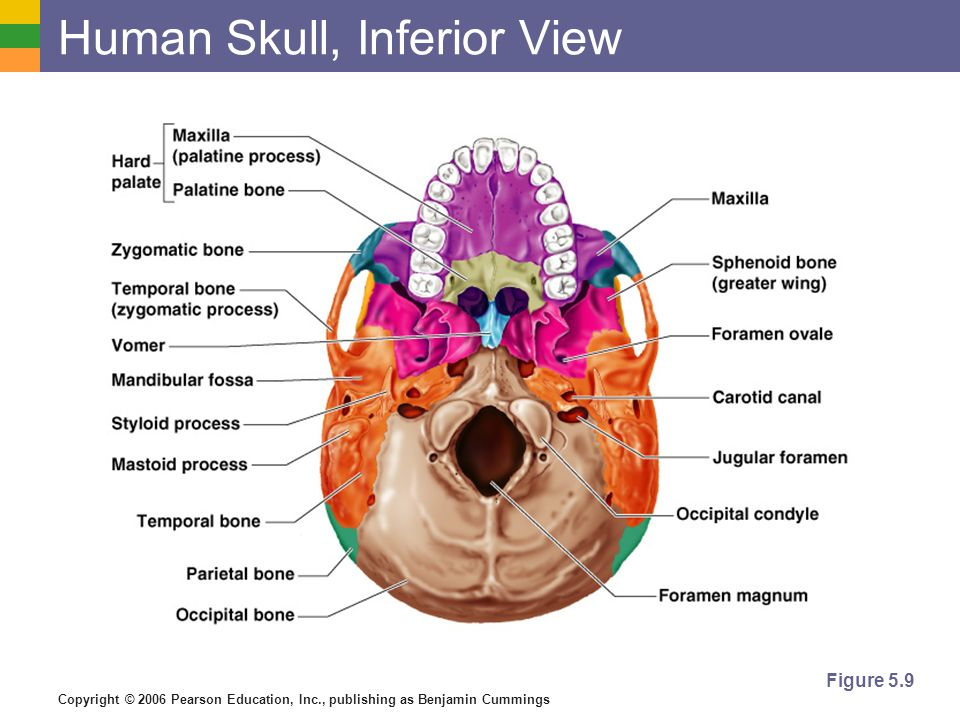 Essentials Human Skull Anatomy And Physiology Diagrams - Electrical ...