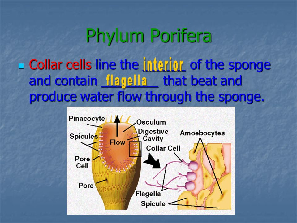 Phylum Porifera Collar cells line the ______ of the sponge and contain ________ that beat and produce water flow through the sponge.