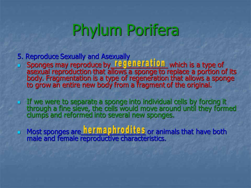 Phylum Porifera 5. Reproduce Sexually and Asexually