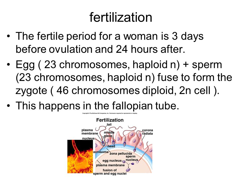 fertilization The fertile period for a woman is 3 days before ovulation and 24 hours after.
