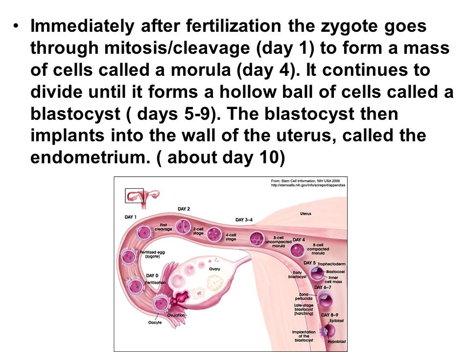 Immediately after fertilization the zygote goes through mitosis/cleavage (day 1) to form a mass of cells called a morula (day 4).