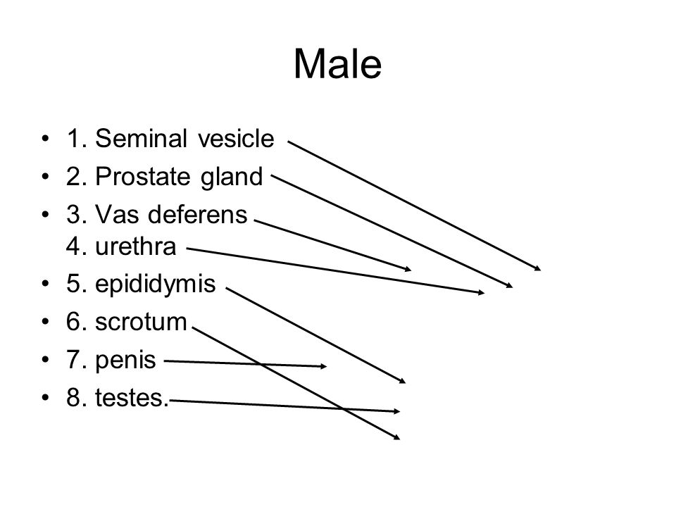 Male 1. Seminal vesicle 2. Prostate gland 3. Vas deferens 4. urethra