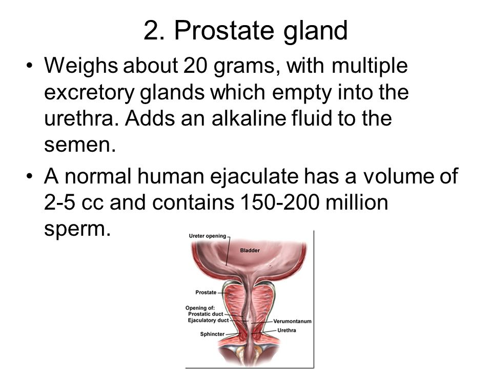 2. Prostate gland Weighs about 20 grams, with multiple excretory glands which empty into the urethra. Adds an alkaline fluid to the semen.