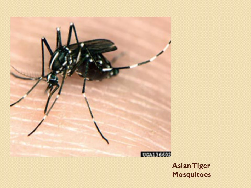 Asian Tiger Mosquitoes