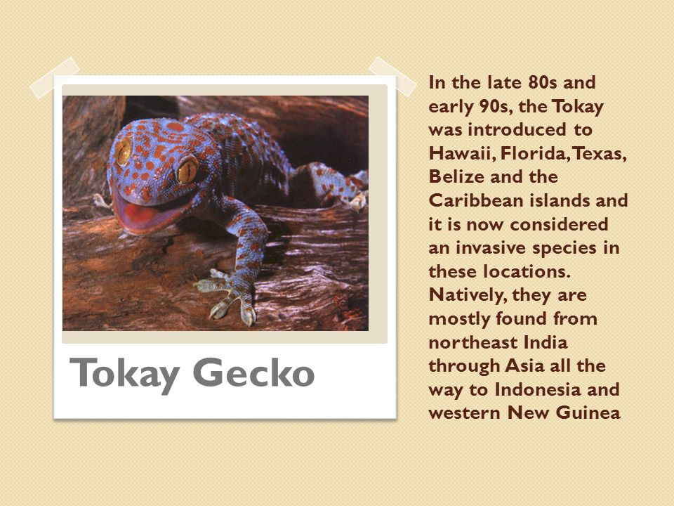 In the late 80s and early 90s, the Tokay was introduced to Hawaii, Florida, Texas, Belize and the Caribbean islands and it is now considered an invasive species in these locations. Natively, they are mostly found from northeast India through Asia all the way to Indonesia and western New Guinea