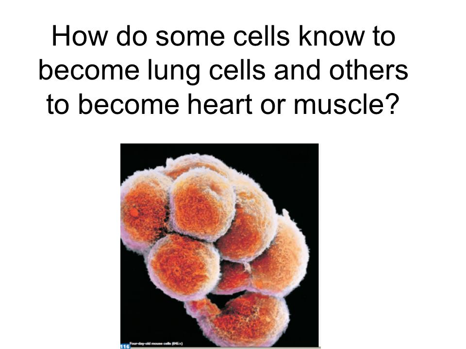 How do some cells know to become lung cells and others to become heart or muscle