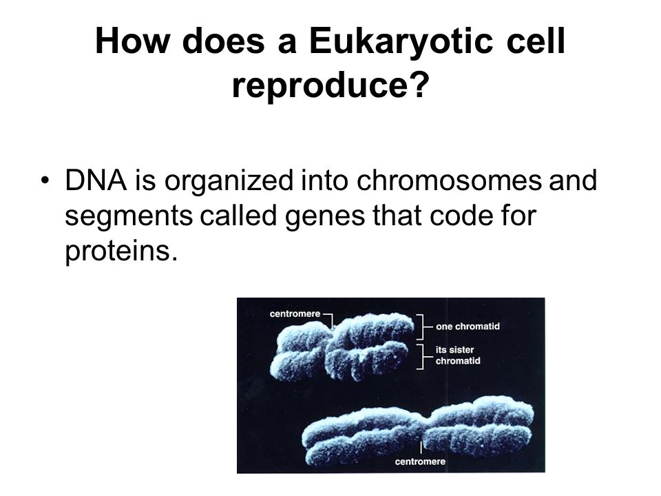 How does a Eukaryotic cell reproduce