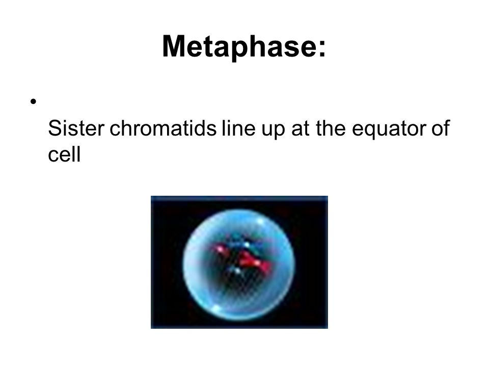 Metaphase: Sister chromatids line up at the equator of cell