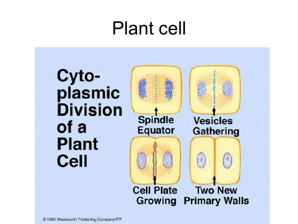 Plant cell