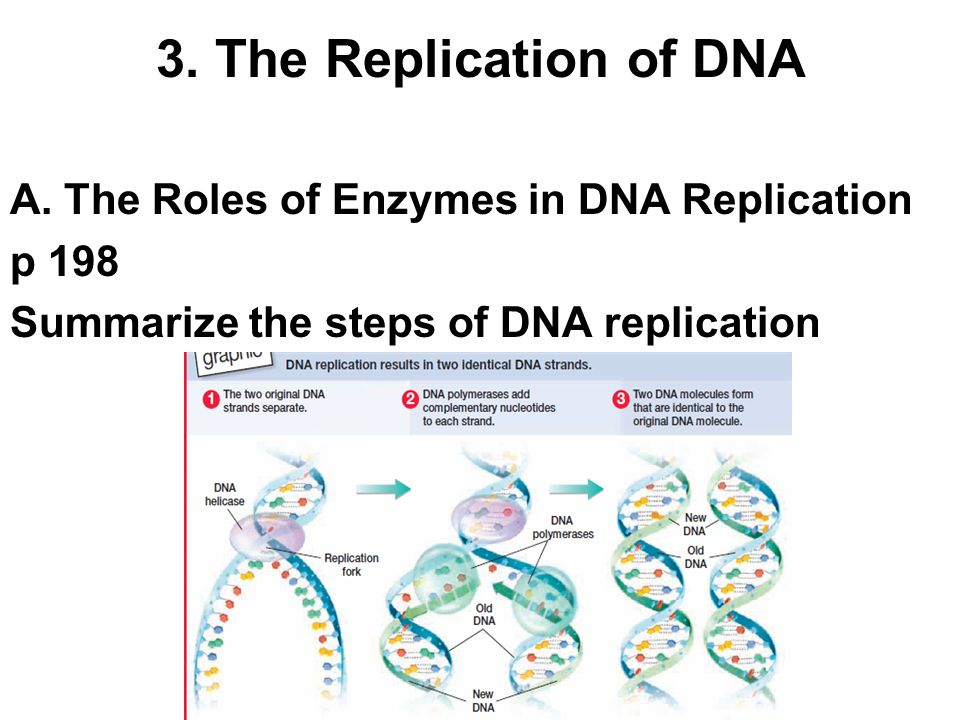3. The Replication of DNA A. The Roles of Enzymes in DNA Replication