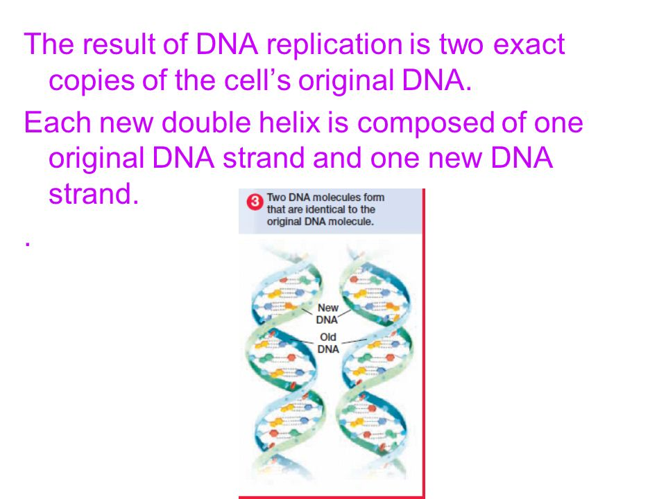 The result of DNA replication is two exact copies of the cell's original DNA.