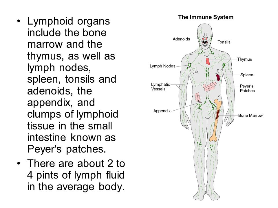 Lymphoid organs include the bone marrow and the thymus, as well as lymph nodes, spleen, tonsils and adenoids, the appendix, and clumps of lymphoid tissue in the small intestine known as Peyer s patches.