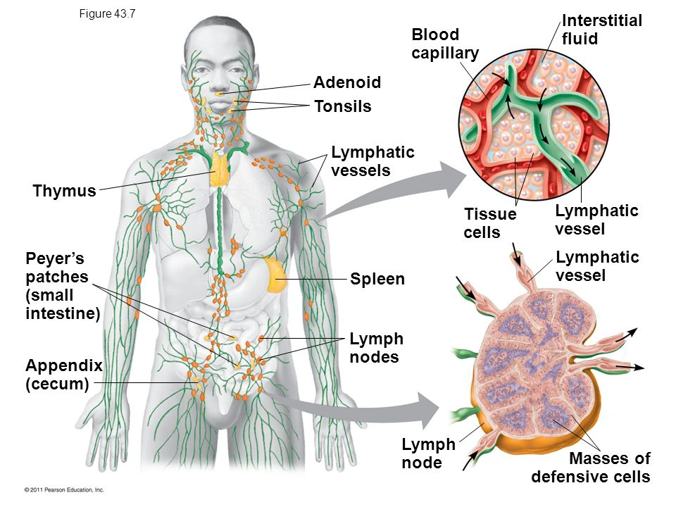 Peyer's patches (small intestine) Lymphatic vessel Spleen