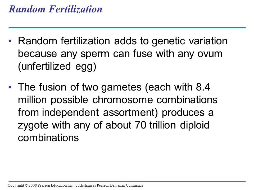 Random Fertilization Random fertilization adds to genetic variation because any sperm can fuse with any ovum (unfertilized egg)