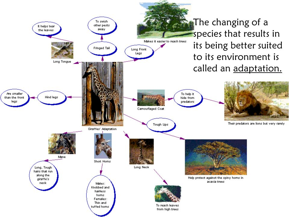 The changing of a species that results in its being better suited to its environment is called an adaptation.