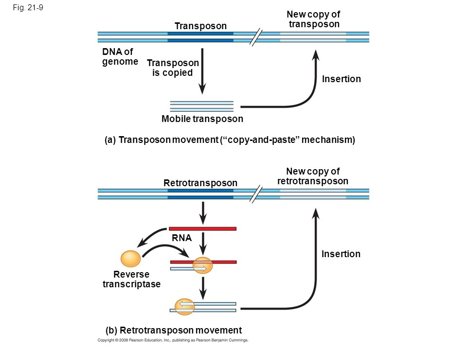 Transposon is copied New copy of retrotransposon Reverse transcriptase