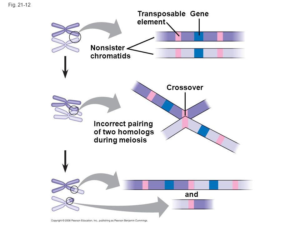 Transposable element Gene Nonsister chromatids Crossover