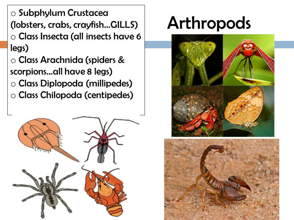 Arthropods Subphylum Crustacea (lobsters, crabs, crayfish…GILLS)