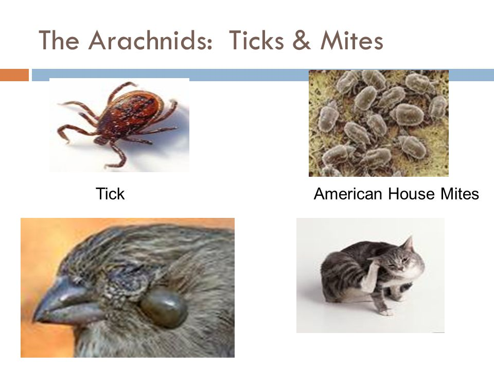The Arachnids: Ticks & Mites