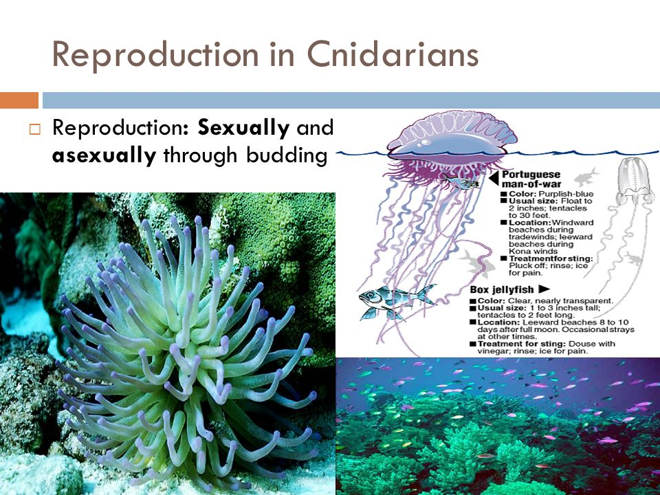 Reproduction in Cnidarians