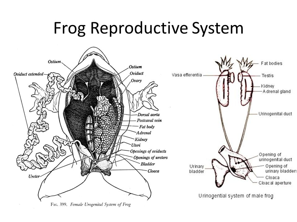 Frog Oviducts Diagram - DIY Wiring Diagrams •